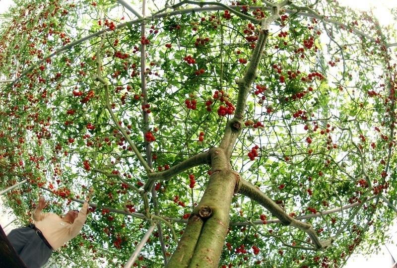 Помидорное дерево Спрут F1