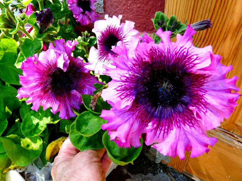 Петуния. Посев петуний. Сорта петунии: многоцветковая, крупноцветковая, ампельная.