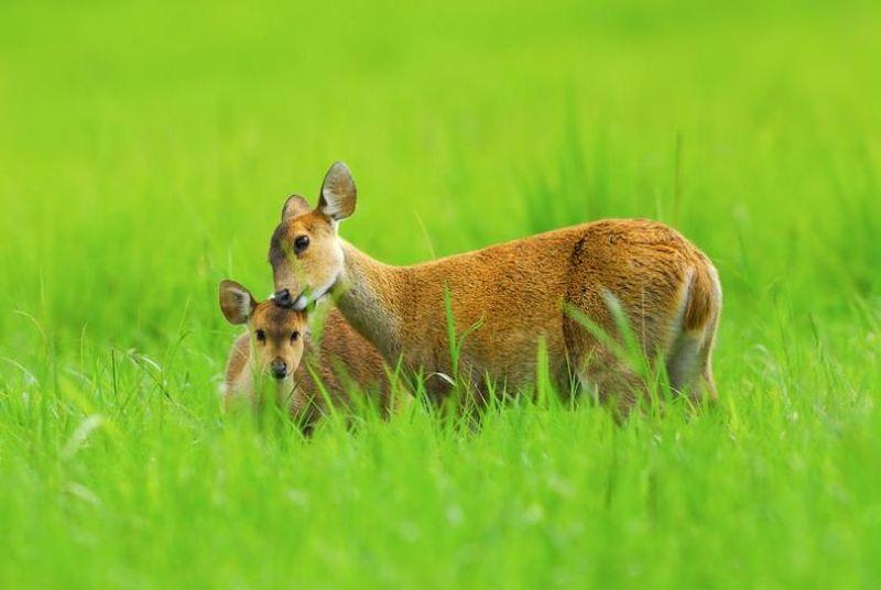 hog deer2 Тайский заповедник дикой природы Phu Khieo