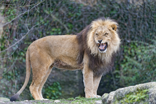 То, что сделали львы при встрече с напуганной девочкой, — из ряда фантастики!