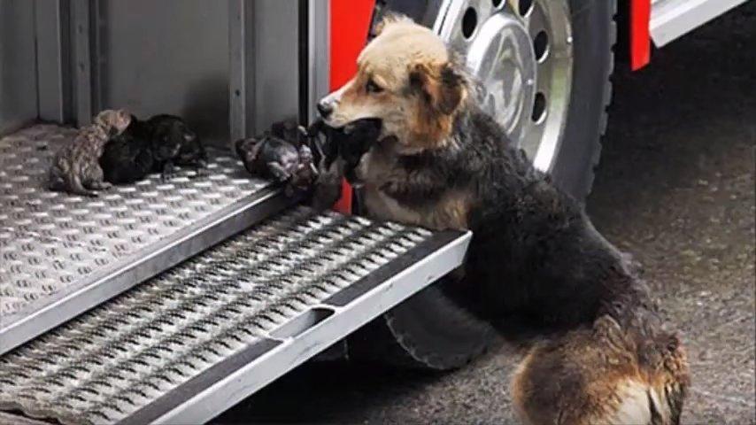 Вот она! Настоящая мать — собака вынесла всех щенят из огня
