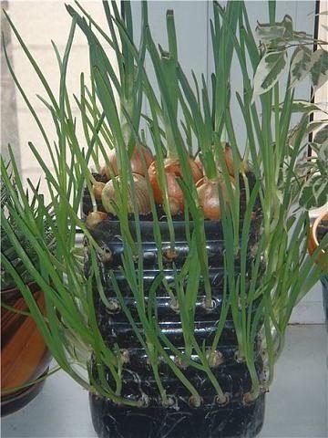 контейнер для выращивания лука 2: Органическое земледелие, пермакультура