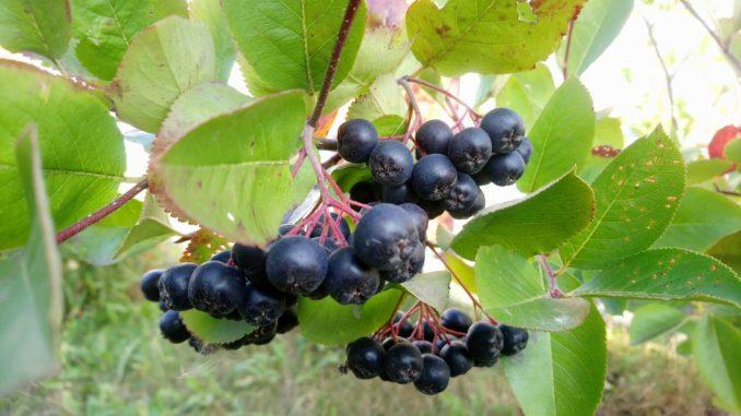 Целебная черноплодка — ягодк…