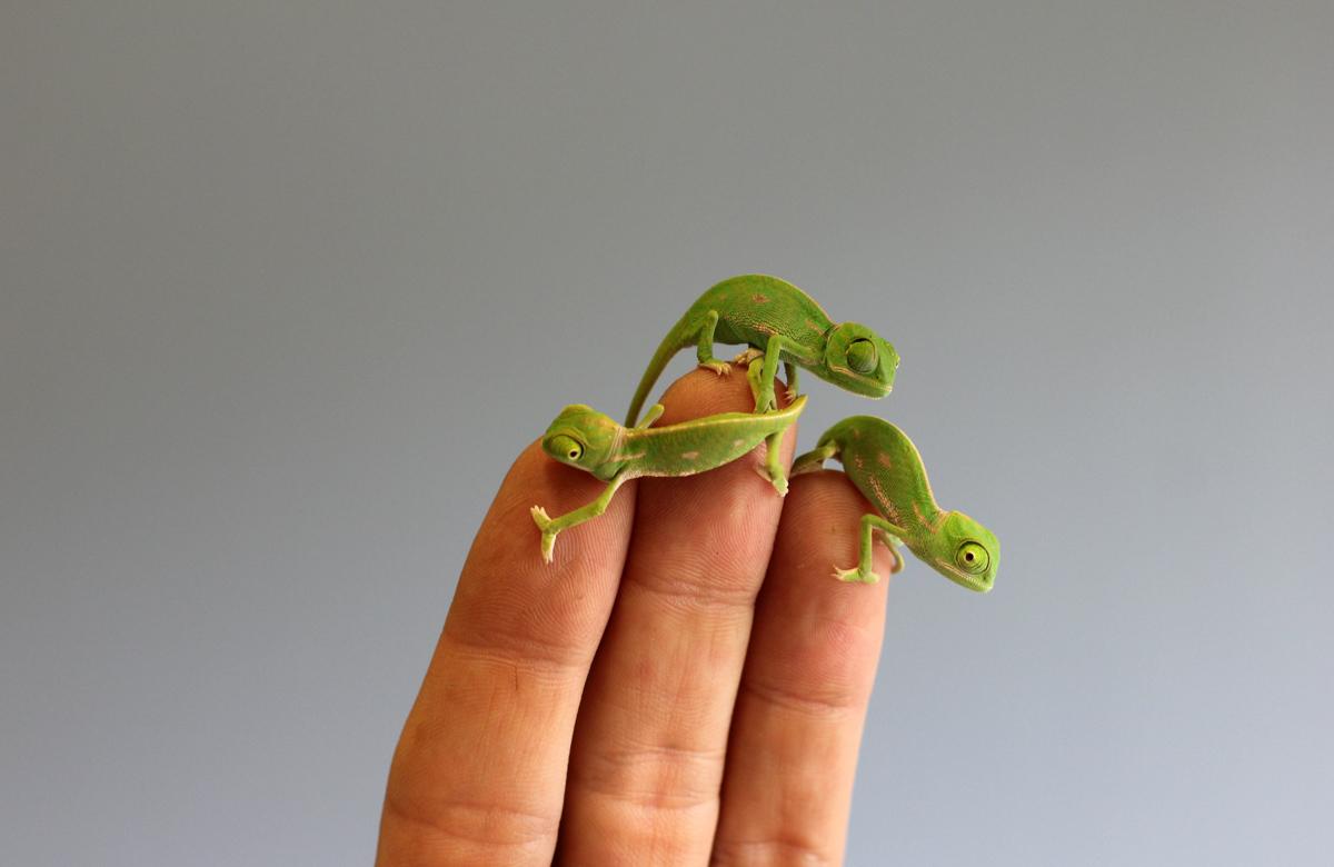 chameleon 05 Крохи хамелеоны — это новые котики