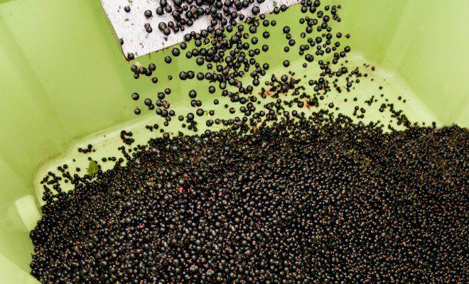 : Ягоды черной смородины