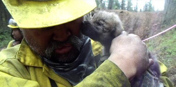 На Аляске пожарные спасли из огня пятерых волчат аляска, пожарные, животные, волк