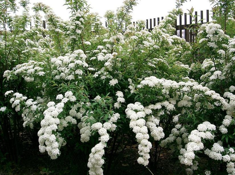 Кустарники цветущие в мае белыми цветами фото