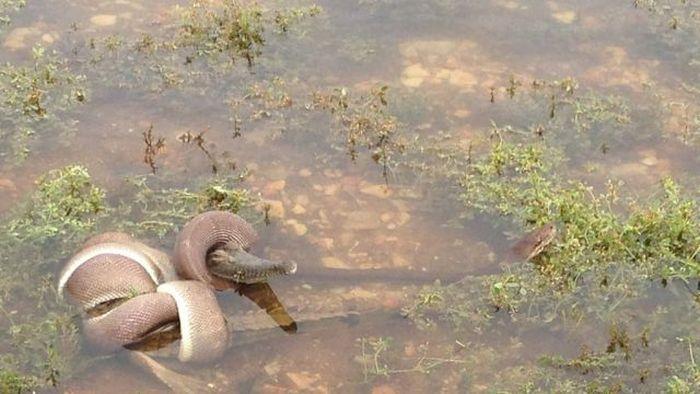 Змея съела крокодила