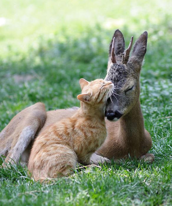 Олененок и кошка.