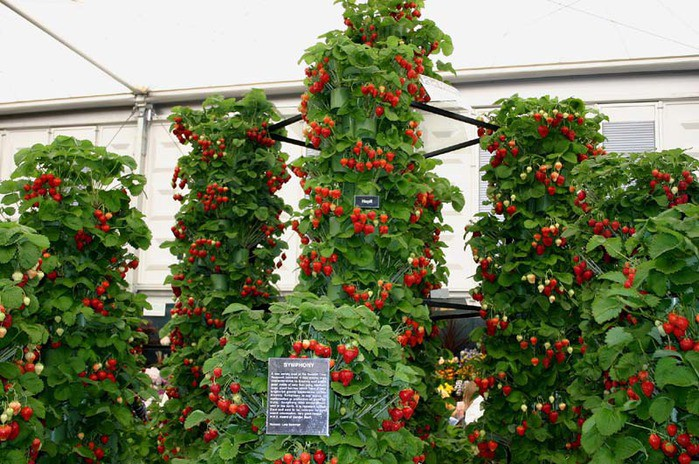 Пирамида из клубники дача, овощи