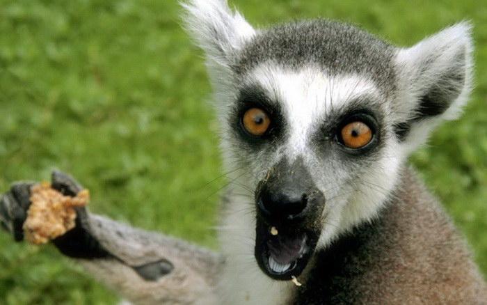 20 смешных лемуров, которые поднимут вам настроение