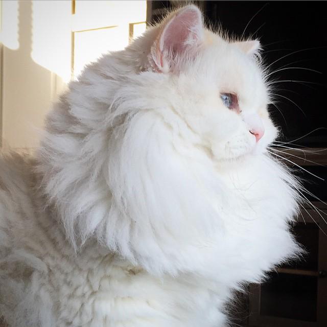 очень пушистый кот
