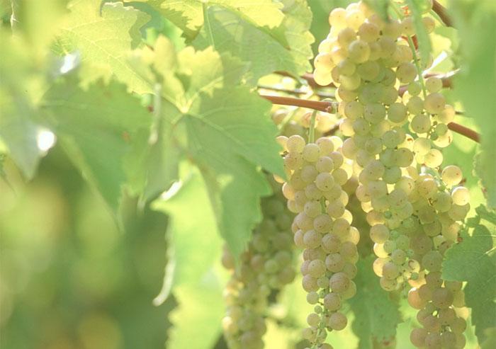 Виноград удобряют осенью или рано весной до распускания почек