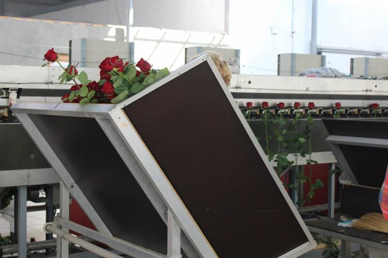 Как выращивают розы в России производство, розы