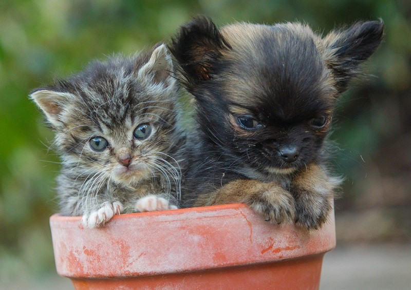 Самая маленькая собака Великобритании считает себя котенком