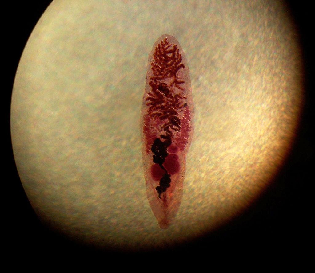 Ланцетовидная двуустка, или Ланцетовидный сосальщик вирус, мозг, паразиты