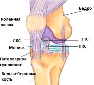 Разрыв крестообразной связки плечевого сустава анатомия животных суставы тазовой конечности
