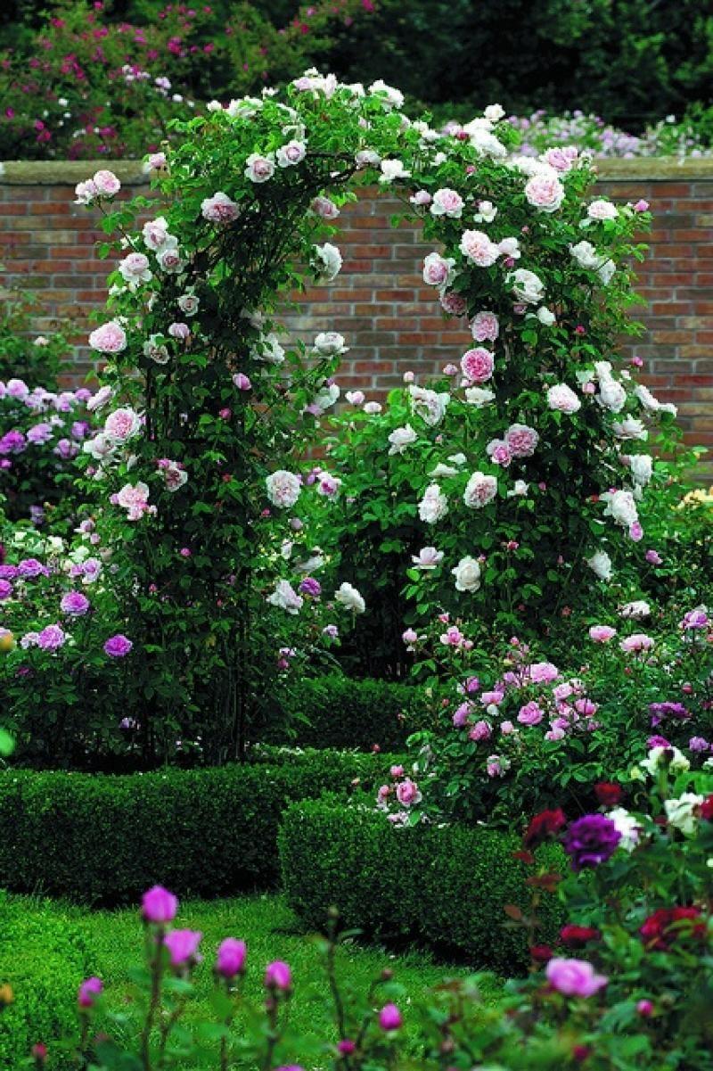 Плетущихся роз дизайн