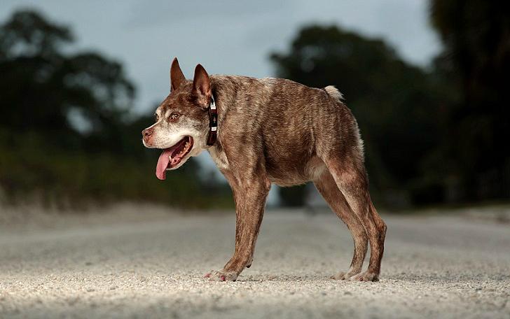 Квазимодо, самая уродливая собака на свете