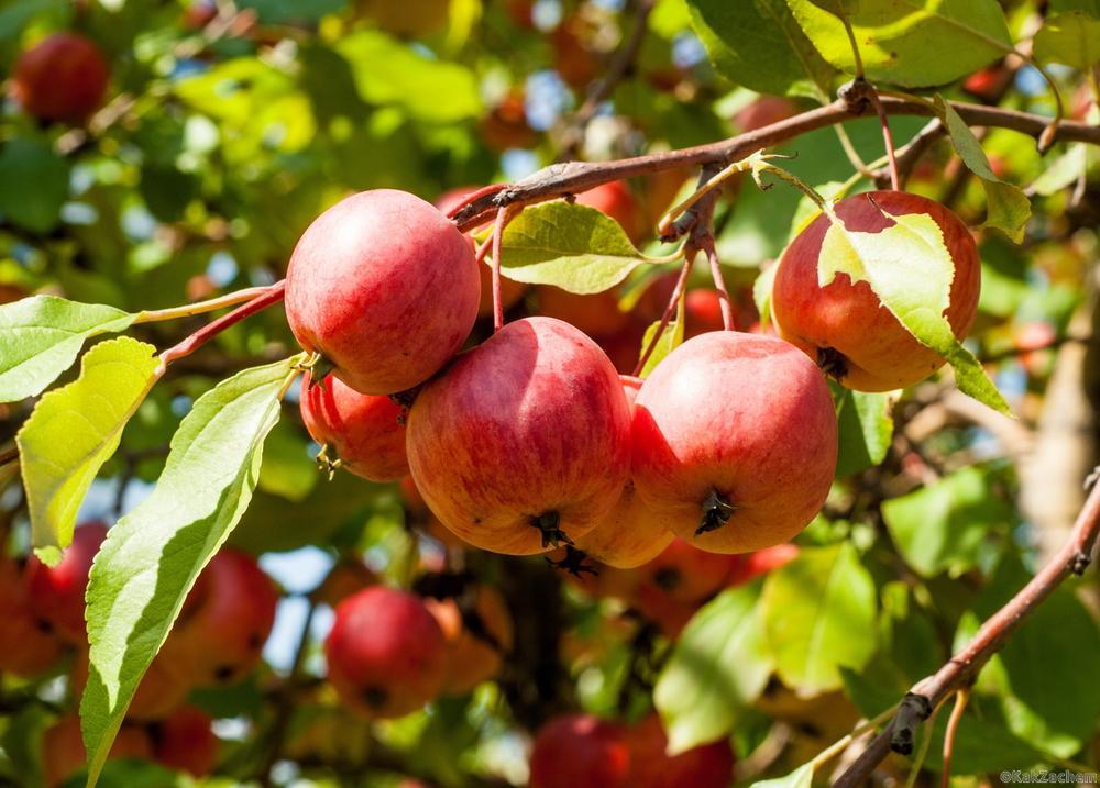 7 фруктовых деревьев, которые без труда можно вырастить дома