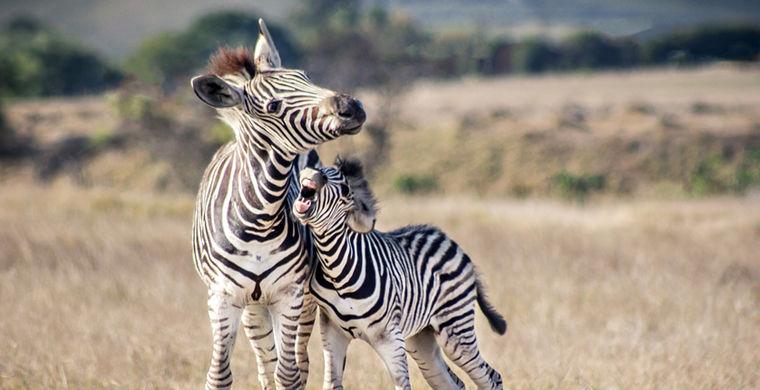 Два десятка зебр выпустили в дикую природу
