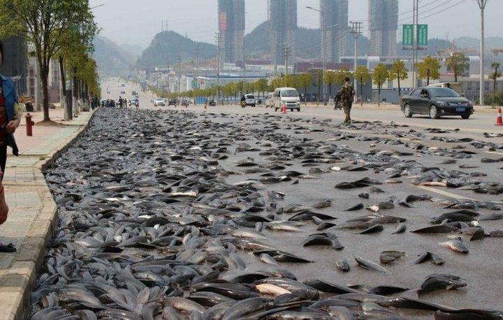 Как спасали семь тонн вывалившейся рыбы