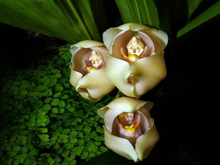 Из-за оригинальной формы цветка прочно закрепилось название «Запеленованные дети».