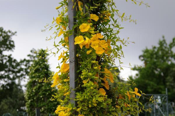 Макфадиена коготковая в цветении чудесно смотрится на арке, фото автора