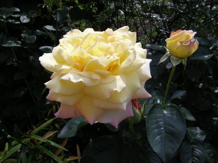 Научитесь определять сорта роз бесплатно