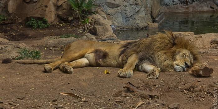 В датском зоопарке детям покажут как вскрывать льва
