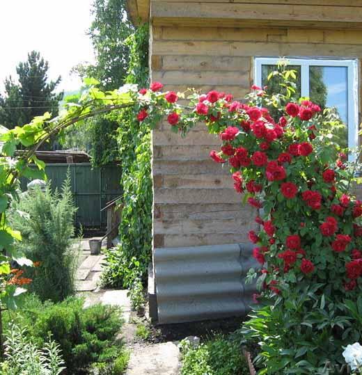 советы по выращиванию и уходу за плетистыми розами