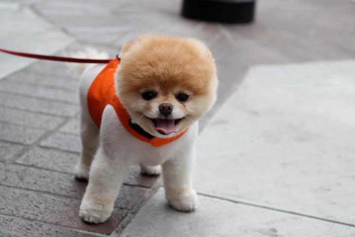 """Фотография """"Тема - Что за порода? Самые маленькие собаки. Фото. Все породы ..."""" на сайте """"Собаки фото. Породы собак фото. Фото м"""