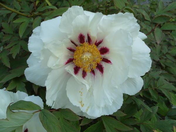 Цветет древовидный пион