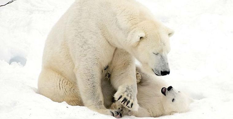 Секрет хорошего настроения: турист застал белого медвежонка за игрой с мамой