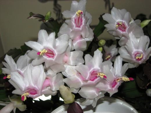 http://www.botanichka.ru/wp-content/uploads/2009/11/Schlumbergera-21-520x390.jpg