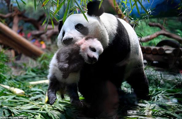 В китайском сафари-парке посетителям впервые показали детеныша панды