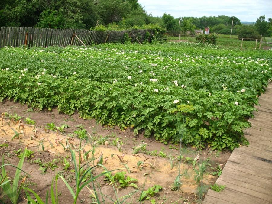 Как правильно ухаживать за посадкой картофеля?