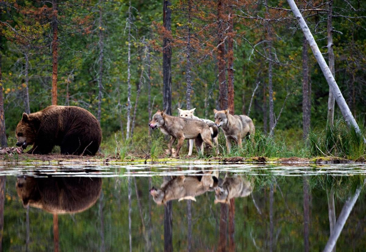 На Камчатке застрелили десятки опасных медведей и волков