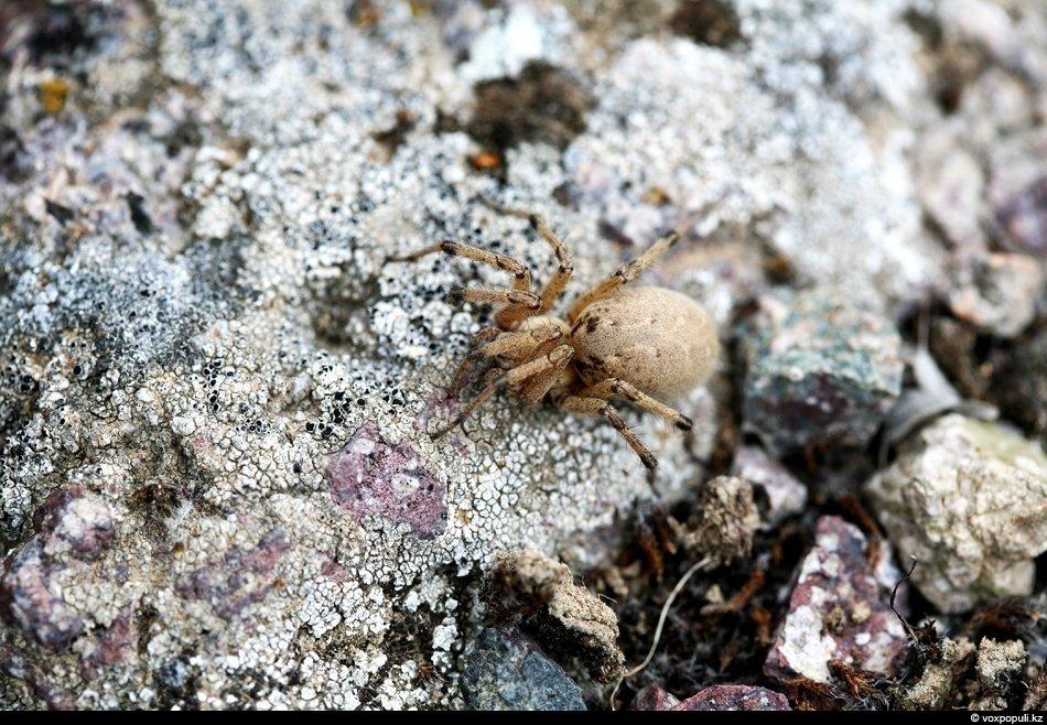 самка паука агелены