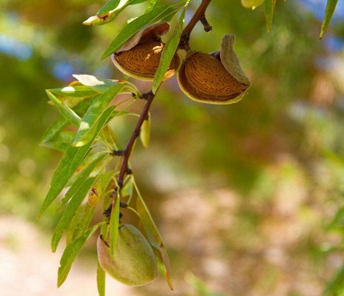 Плод миндального дерева представляет собой костянку.