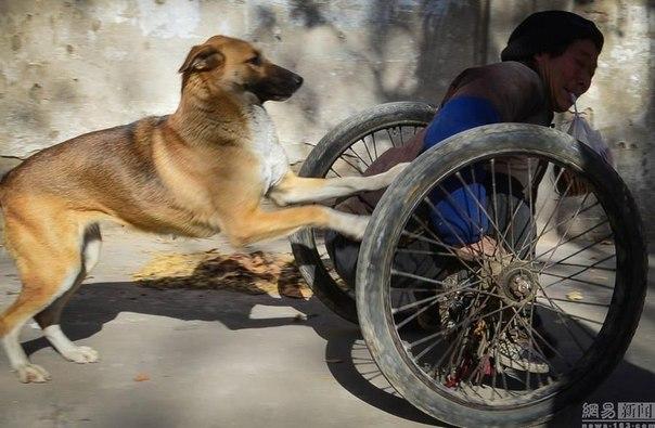 Вот это преданность!!! Большая Жёлтая Собака