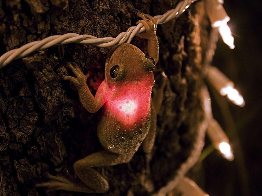 2. Кубинская квакша проглотила лампочку жаба, лягушка, подборка