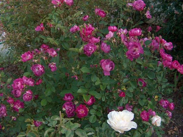 Роза миниатюрная сорт Mr. Bluebird, фото сайта www.websad.ru