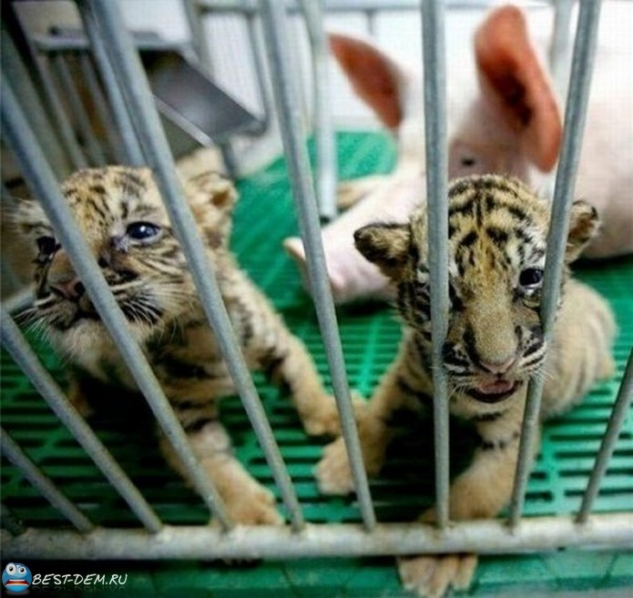 Самые невероятные приемные родители среди животных (5)