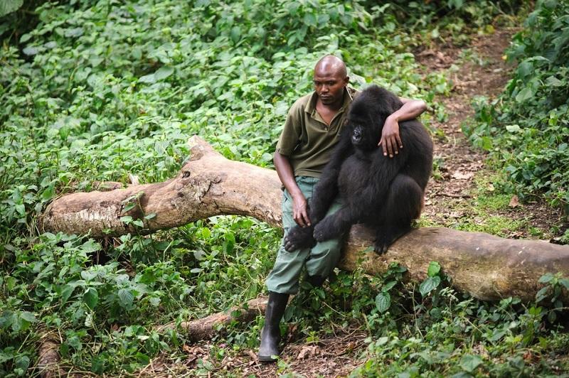 Это фото никого не оставит равнодушным! Человек пытается утешить гориллу, которая потеряла маму