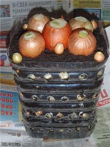 срезаем верхушки лука: Органическое земледелие, пермакультура