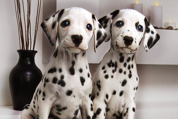 5 пород собак, которых удобно держать в квартире