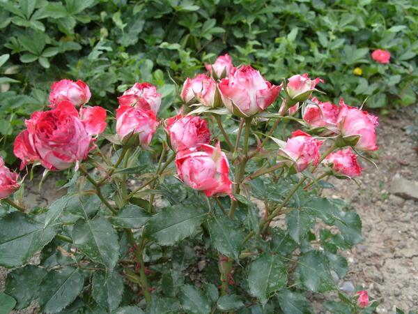 Цветёт отечественный миниатюрный сорт розы Гранатовый Браслет
