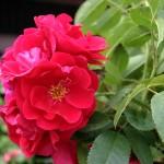 """Роза """"Flammentanz"""" цветок"""