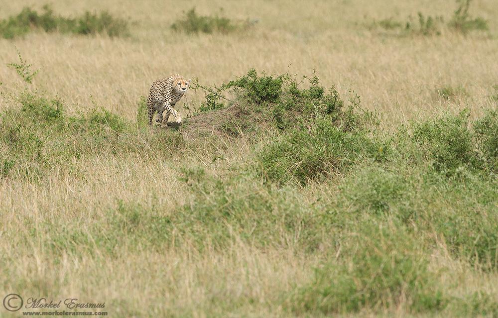 Охота гепарда на газель – захватывающие кадры из мира дикой природы 1